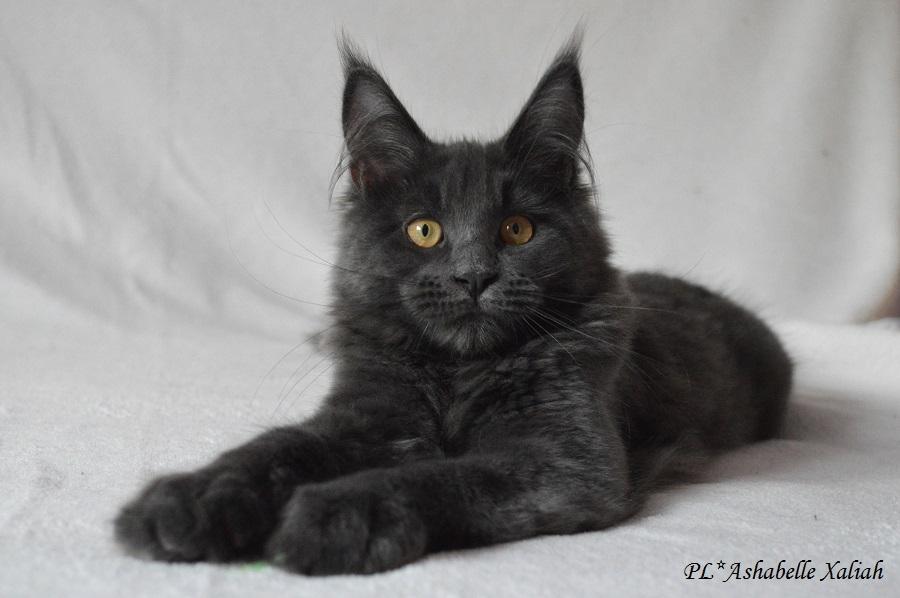 PL*Ashabelle Xaliah, új Maine Coon cica az Angelpaw tenyészetben