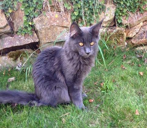 HU*Angelpaw Heartbreaker Maine Coon macska fiú egy másik német tenyészetben