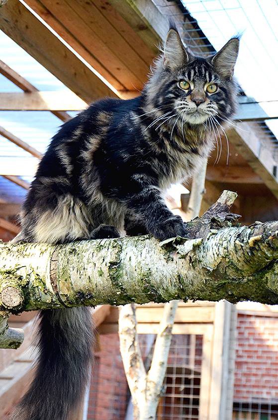 HU*Angelpaw Harley Maine Coon macska fiú