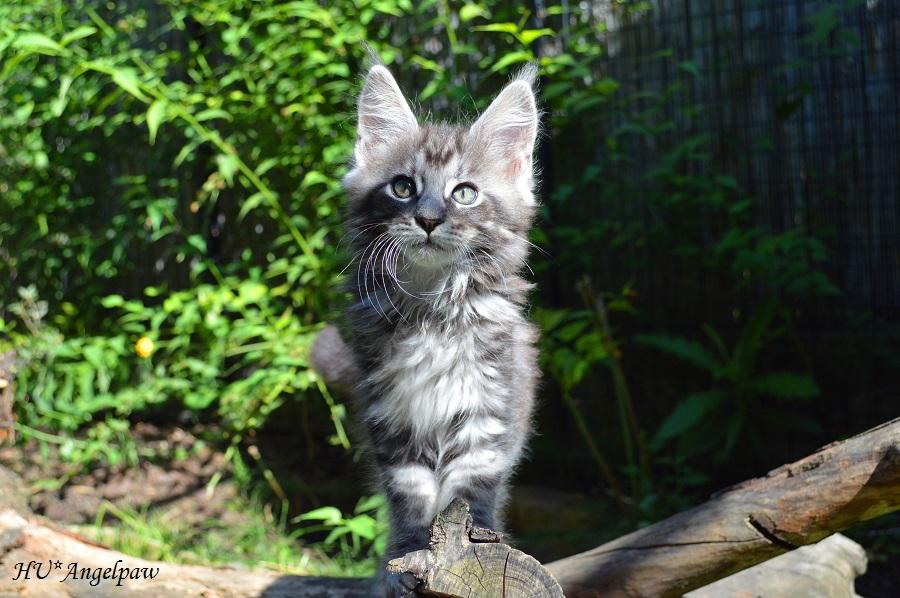 Angelpaw Maine Coon tenyézset - Full of Joy eladó Maine Coon cica
